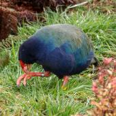 South Island takahe. Adult feeding . Orokonui Ecosanctuary, August 2015. Image © Leon Berard by Leon Berard