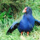 South Island takahe. Adult with wings raised. Kapiti Island, April 2002. Image © Alex Scott by Alex Scott