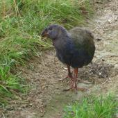 South Island takahe. Juvenile at 4-months-old. Maud Island, February 2012. Image © James Mortimer by James Mortimer