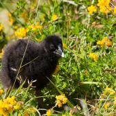 South Island takahe. Captive-bred chick. Burwood breeding centre, February 2011. Image © Sabine Bernert by Sabine Bernert www.sabinebernert.fr