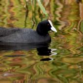Australian coot. Adult on water. Lake Rotoiti, December 2007. Image © Peter Reese by Peter Reese