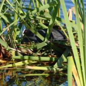 Australian coot. Adult on nest among raupo reeds. Lake Rotoiti, December 2007. Image © Peter Reese by Peter Reese