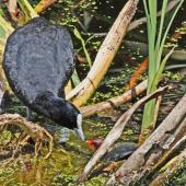 Australian coot. Adult feeding chick. Pekapeka swamp, Hawke's Bay, January 2012. Image © Dick Porter by Dick Porter