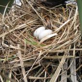 Australian coot. Nest with eggs. Palmerston North, August 2007. Image © Andrew Thomas by Andrew Thomas Andrew Thomas