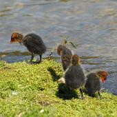 Australian coot. Chicks preening. Lake Rotoiti, December 2012. Image © Peter Reese by Peter Reese