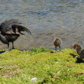 Australian coot. Adult and chicks preening. Lake Rotoiti, December 2012. Image © Peter Reese by Peter Reese