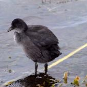 Australian coot. Juvenile. North Shore Auckland, January 2013. Image © Peter Reese by Peter Reese