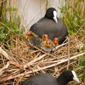 Australian coot. Adults at nest with newly hatched chicks. Hamilton Lake, October 2009. Image © Neil Fitzgerald by Neil Fitzgerald www.neilfitzgeraldphoto.co.nz