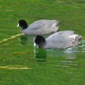 Australian coot. Adults on water. Western Springs,  Auckland. Image © Noel Knight by Noel Knight