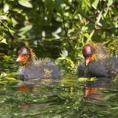 Australian coot. Two chicks swimming. Christchurch, October 2012. Image © Steve Attwood by Steve Attwood http://stevex2.wordpress.com/