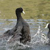 Australian coot. Adults in territorial dispute. Wanganui, October 2015. Image © Ormond Torr by Ormond Torr