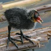 Australian coot. Chick showing feet. Wanganui, February 2009. Image © Ormond Torr by Ormond Torr