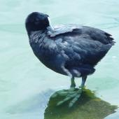 Australian coot. Adult preening. Western Springs, Auckland, January 2006. Image © Graeme Taylor by Graeme Taylor