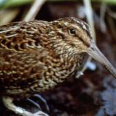South Island snipe. Adult male in captivity. Big South Cape Island, August 1964. Image © Peter Johns by Peter Johns