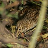 Chatham Island snipe. Adult foraging. Rangatira Island, February 2010. Image © David Boyle by David Boyle