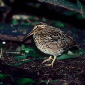 Chatham Island snipe. Adult. Rangatira Island, Chatham Islands, December 1983. Image © Colin Miskelly by Colin Miskelly