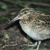 Chatham Island snipe. Juvenile. Rangatira Island, Chatham Islands, December 1983. Image © Colin Miskelly by Colin Miskelly