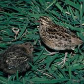 Chatham Island snipe. Adult with half-grown chick. Mangere Island, Chatham Islands, October 1987. Image © Alan Tennyson by Alan Tennyson