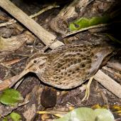 Chatham Island snipe. Adult with chick. Rangatira Island, Chatham Islands. Image © Art Polkanov by Art Polkanov