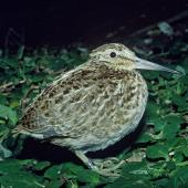Chatham Island snipe. Juvenile. Rangatira Island, Chatham Islands, January 1979. Image © Department of Conservation (image ref: 10031043) by David Garrick, Department of Conservation Courtesy of Department of Conservation