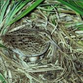 Chatham Island snipe. Adult on nest with 2 eggs. Mangere Island, Chatham Islands, October 1980. Image © Department of Conservation (image ref: 10033451) by Rod Morris, Department of Conservation Courtesy of Department of Conservation