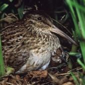 Chatham Island snipe. Adult on nest with day-old chick. Rangatira Island, Chatham Islands, February 2004. Image © Department of Conservation (image ref: 10054725) by Don Merton, Department of Conservation Courtesy of Department of Conservation