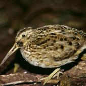 Chatham Island snipe. Adult. Rangatira Island, Chatham Islands. Image © Department of Conservation (image ref: 10057181) by Don Merton, Department of Conservation Courtesy of Department of Conservation