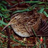 Chatham Island snipe. Adult stretching wing. Rangatira Island, Chatham Islands, May 2001. Image © Colin Miskelly by Colin Miskelly