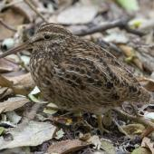 Chatham Island snipe. Adult. Mangere Island, Chatham Islands, October 2020. Image © James Russell by James Russell