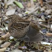 Chatham Island snipe. Adult stretching its wing. Mangere Island, Chatham Islands, October 2020. Image © James Russell by James Russell