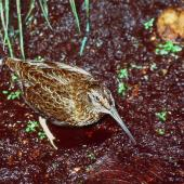 Snares Island snipe. Adult. Snares Islands, January 1985. Image © Colin Miskelly by Colin Miskelly