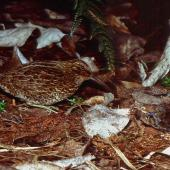 Snares Island snipe. Adult and chick. North East Island, Snares Islands, December 1985. Image © Colin Miskelly by Colin Miskelly