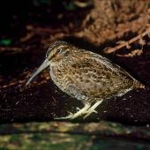 Snares Island snipe. Adult. North East Island, December 1986. Image © Colin Miskelly by Colin Miskelly