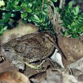Snares Island snipe. Adult. Snares Islands. Image © Department of Conservation (image ref: 10036934) by Rod Morris, Department of Conservation Courtesy of Department of Conservation
