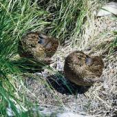Snares Island snipe. Adult pair roosting, male on right. Snares Islands, January 1967. Image © Department of Conservation (image ref: 10047395) by Richard Anderson, Department of Conservation Courtesy of Department of Conservation