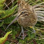 Subantarctic snipe. Adult Antipodes Island snipe. Antipodes Island, February 2011. Image © David Boyle by David Boyle