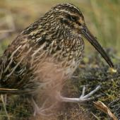 Subantarctic snipe. Adult Antipodes Island snipe with caterpillar. Antipodes Island, March 2009. Image © David Boyle by David Boyle