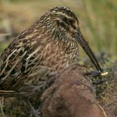 Subantarctic snipe. Adult Antipodes Island snipe feeding chick. Antipodes Island, March 2009. Image © David Boyle by David Boyle