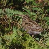 Subantarctic snipe. Adult Auckland Island snipe. Ocean Island, Auckland Islands, January 2018. Image © Colin Miskelly by Colin Miskelly