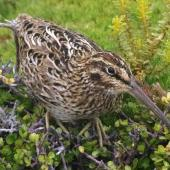 Subantarctic snipe. Adult Auckland Island snipe. Enderby Island, Auckland Islands, January 2018. Image © Colin Miskelly by Colin Miskelly