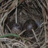 Subantarctic snipe. Nest with 2 eggs. Disappointment Island, Auckland Islands, January 2018. Image © Colin Miskelly by Colin Miskelly