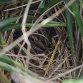 Subantarctic snipe. Adult on nest among Poa foliosa. Disappointment Island, Auckland Islands, January 2018. Image © Colin Miskelly by Colin Miskelly