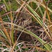 Subantarctic snipe. Antipodes Island snipe adult and chick. Antipodes Island, April 2009. Image © Mark Fraser by Mark Fraser