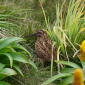 Subantarctic snipe. Auckland Island snipe adult. Enderby Island, Auckland Islands, December 2011. Image © Richard Smithers by Richard Smithers