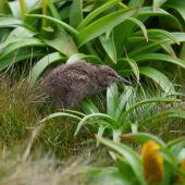 Subantarctic snipe. Auckland Island snipe chick (half-grown). Enderby Island, Auckland Islands, December 2011. Image © Richard Smithers by Richard Smithers