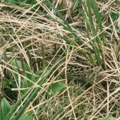 Subantarctic snipe. Adult Auckland Island snipe in subalpine vegetation. Adams Island, Auckland Islands, December 1996. Image © Department of Conservation (image ref: 10043364) by Greg Sherley, Department of Conservation  Courtesy of Department of Conservation
