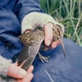 Subantarctic snipe. The first Campbell Island snipe discovered . Jacquemart Island, Campbell Island, November 1997. Image © Department of Conservation (image ref: 10053981) by Jeremy Carroll, Department of Conservation Courtesy of Department of Conservation