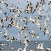 Lesser knot. Flock in flight. Miranda, Firth of Thames, February 2007. Image © Neil Fitzgerald by Neil Fitzgerald www.neilfitzgeraldphoto.co.nz