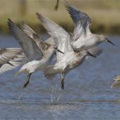 Lesser knot. Flock taking-off  . Lake Ellesmere, November 2012. Image © Steve Attwood by Steve Attwood http://www.flickr.com/photos/stevex2/sets/72157625859137757/