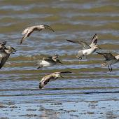 Lesser knot. Flock in flight. Wanganui, November 2014. Image © Ormond Torr by Ormond Torr